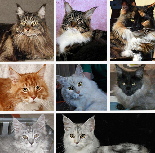maine-coon-colors